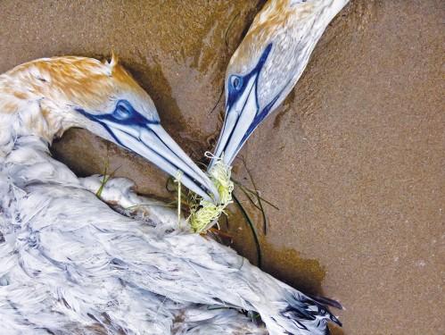 tangled gannets2