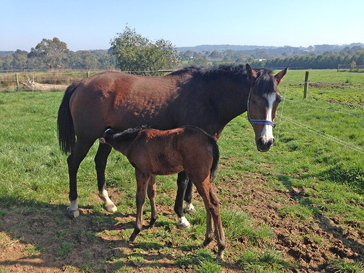 Caring mother: Stud brood mare Arriere, pictured with her most recent foal, was found shot dead in a paddock by owner Tony Biddle. Image supplied