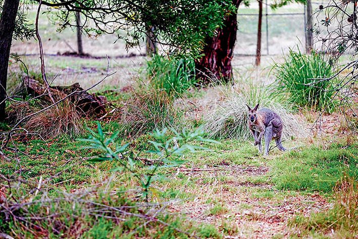 Room to hop: A rabbit eradication program at the Briars Park wildlife sanctuary will see more room and food for Australian species like this eastern grey kangaroo. Picture: Yanni