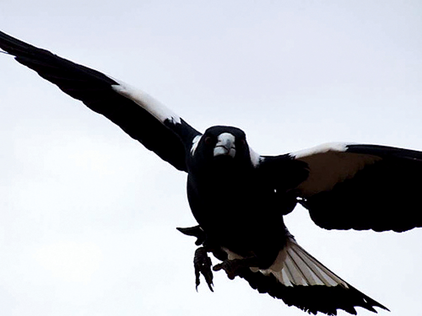 Swopping magpie: A common sight during spring as the birds patrol territory to protect their young.