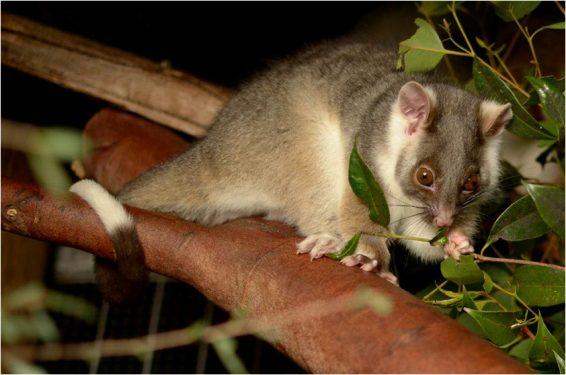 Tree hugger: A ringtail possum feeding on leaves. Picture: Michelle Thomas/Animalia