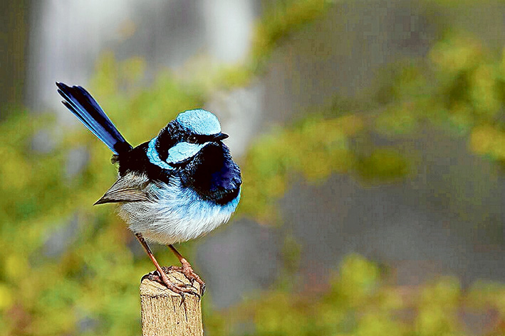 Cute as a button: Superb fairy-wrens have a voracious appetite for insects and are an asset in gardens. Pictures: Patrick K