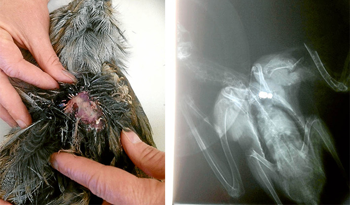 Down and out: An x-ray, top right, reveals the lead slug probably fired from an air rifle which mortally wounded a young tawny frogmouth at Rye; left, the open wound near the bird's shoulder.