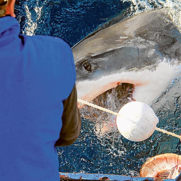 tagging shark