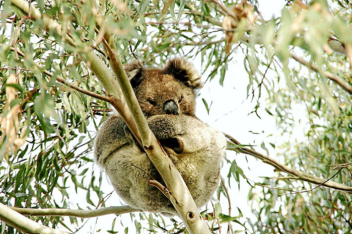 Dining out: Koalas are causing concern on French Island where they are quickly killing off the very trees that feed them. Members of the island's Landcare group believe time is running out for both the trees and the koalas. Pictures: Alison Pitt, below, and Keith Platt, above.