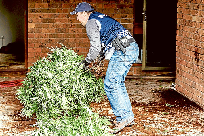 On a high: Police seized 164 cannabis plants from the Eastbourne Rd, Rosebud, house last Thursday. Picture: Yanni